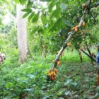 Drought Deals Harsh Blow to Cameroon's Cocoa Farmers