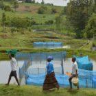 Alert Over Lethal Virus Affecting Popular Tilapia Fish